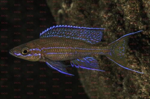 Paracyprichromis nigripinnis fulwe rocks - Foto Magnus u. Mikael Karlsson