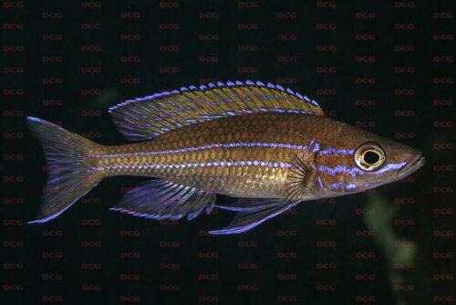 Paracyprichromis nigripinnis silaf rocks - Foto Magnus u. Mikael Karlsson