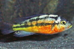 Paralabidochromis rockkribensis - Foto: Wolfgang Staeck