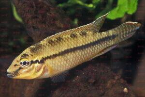Parananochromis ornatus - Foto: Erwin Schraml