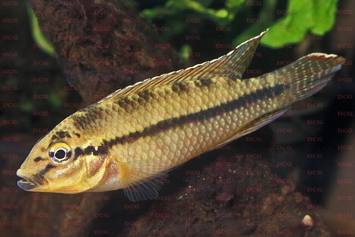 Parananochromis