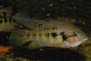 Pelmatochromis nigrofasciatus - Foto: Anton Lamboj