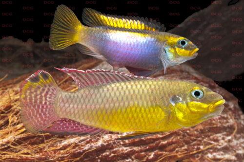 Pelvicachromis kribensis - Foto Roland Schreiber