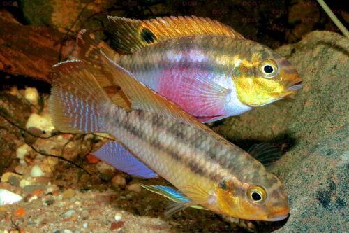 Pelvicachromis silviae - Foto Uwe Werner