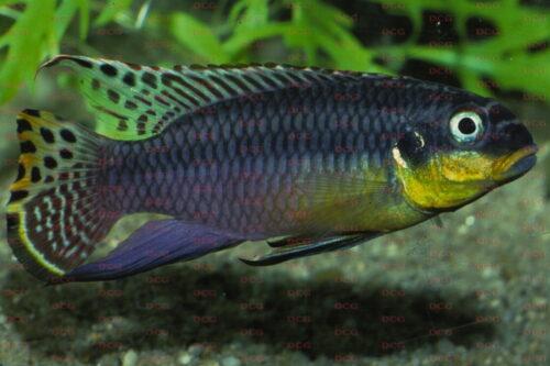 Pelvicachromis taeniatus - Foto Anton Lamboj