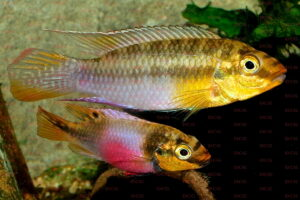 Pelvichachromis subocellatus - Foto: Uwe Werner