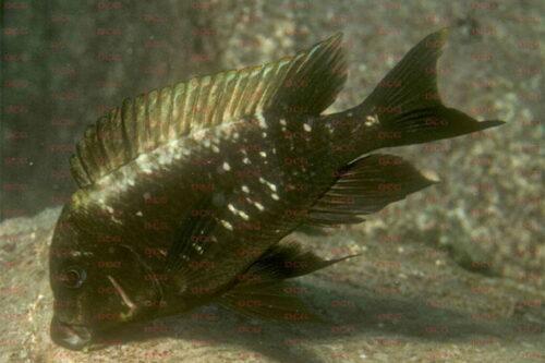 Petrochromis epphippum - Foto Heinz Büscher