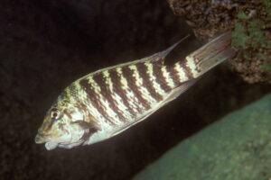 Petrochromis macrognathus - Foto: Heinz Büscher