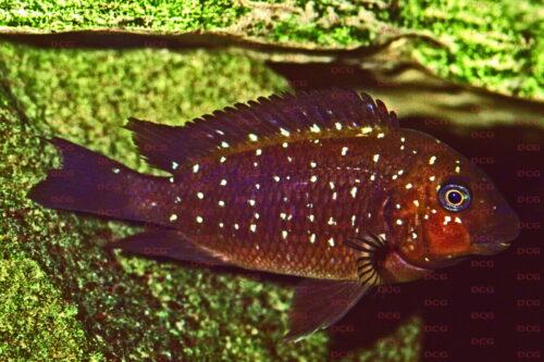 Petrochromis trewavasae - Foto Harald Rosentritt
