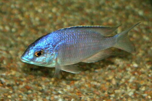 Placidochromis electra - Foto Dieter Hohl