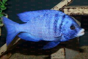 Placidochromis phenochilus - Foto: Andreas Spreinat