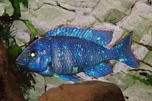 Placidochromis phenochilus tanzania - Foto Stefan Pierdzig2