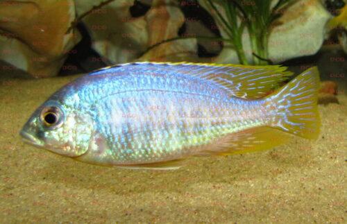 Placidochromis sp. Jalo Reef - Foto Stefan Pierdzig