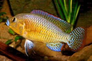 Pseudocrenilabrus multicolor - Foto: Uwe Werner
