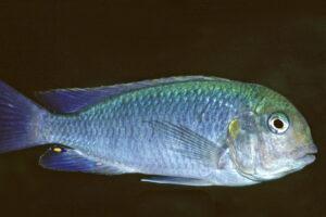 Pseudosimochromis curvifrons - Foto: Wolfgang Staeck