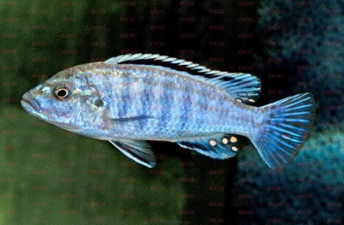 Pseudotropheus joanjohnsonae - Foto Erwin Schraml