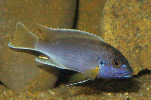 Pseudotropheus sp. acei - Foto Andreas Spreinat