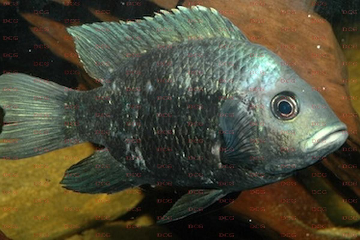 Ptychochrominae