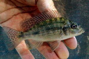Sargochromis coulteri Foto Erwin Schraml