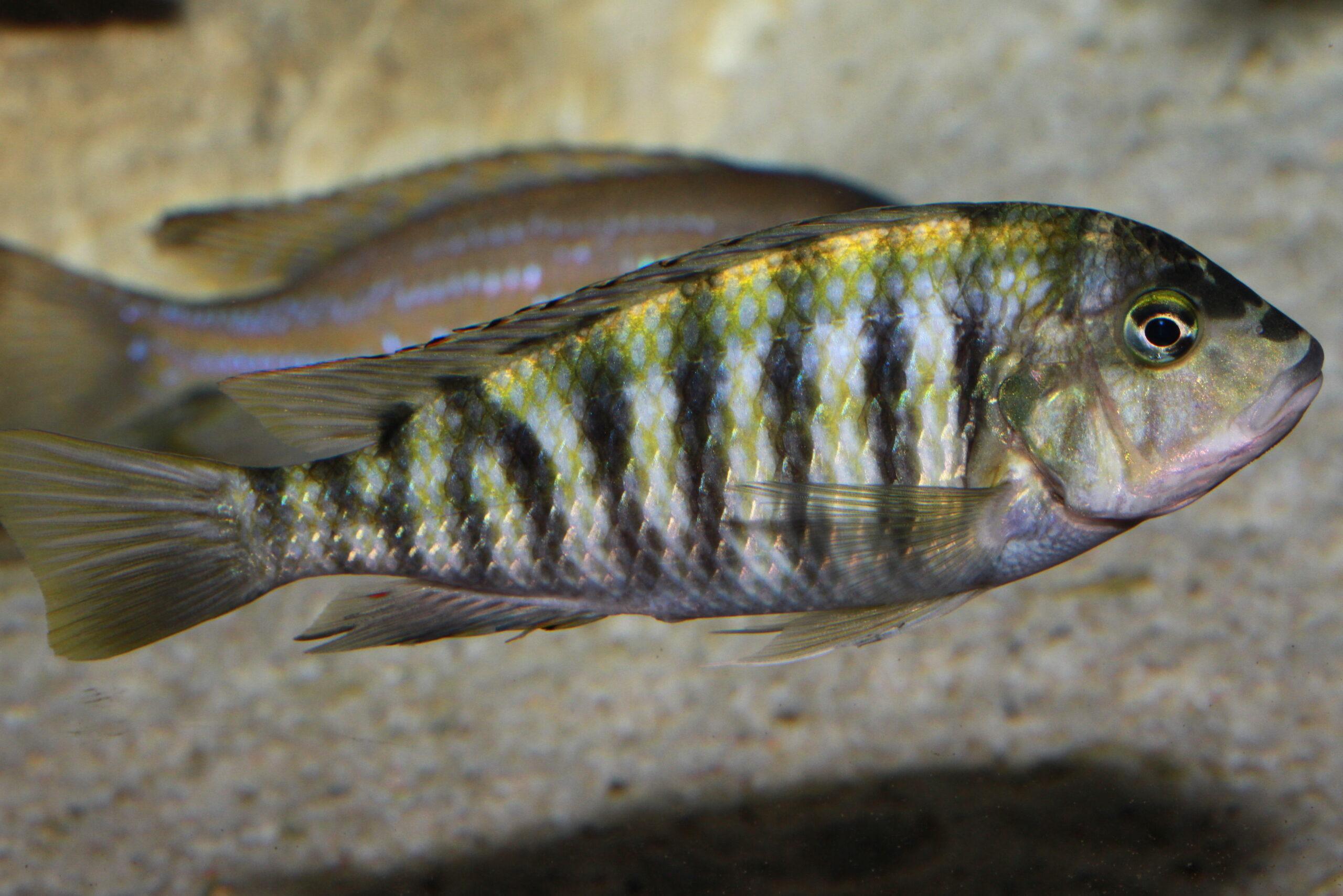 Simochromis