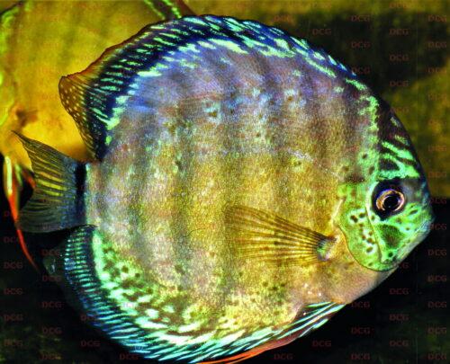 Symphysodon sp. 2 'Xingú' - Foto Wolfgang Staeck