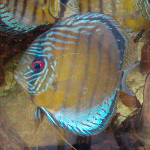 Symphysodon tarzoo 'Rio Nanay' - Foto Stefan Pierdzig