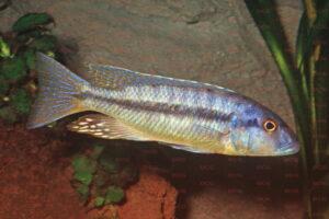 Taeniochromis holotaenia - Foto: Andreas Spreinat