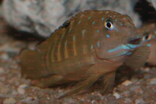 Tanganicodus irsacae - Foto Stefan Otto