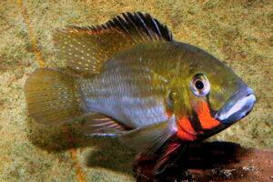 Thoracochromis brauschi - Foto: Uwe Werner