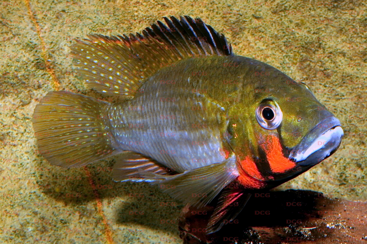 Thoracochromis
