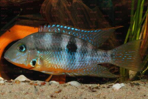Thorichthys affinis - Foto Eckhard Schreiber