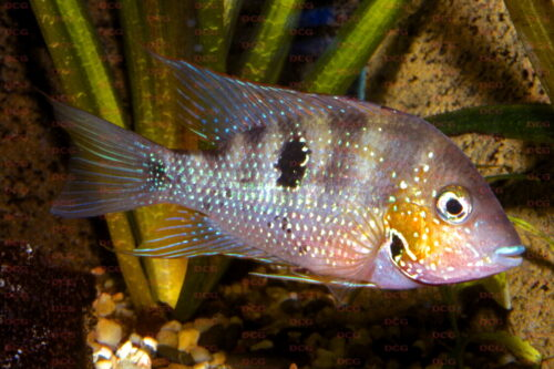 Thorichthys panchovillai - Foto Uwe Werner