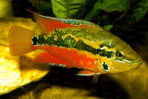 Trichromis salvini - Foto: Dieter Hohl