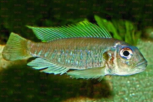 Triglachromis otostigma - Foto Wolfgang Staeck