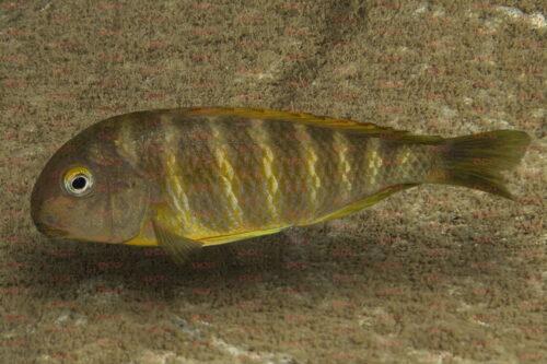 Tropheus brichardi bulomora - Foto Magnus u. Mikael Karlsson