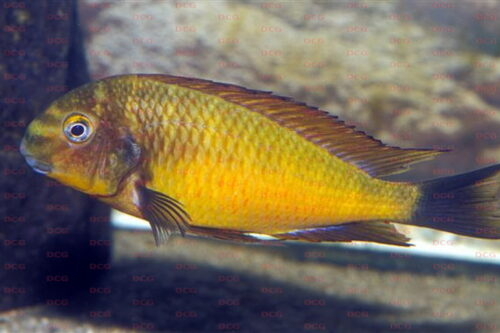 tropheus-moori-golden-kazumba Foto Frank Schneidewind