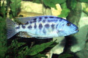 Tyrannochromis nigriventer - Foto: Roland Fischer
