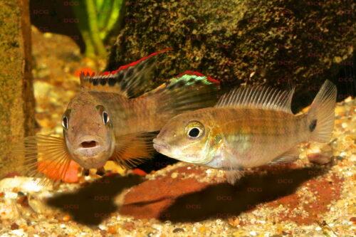 Walleochromis signatus - Foto Uwe Werner