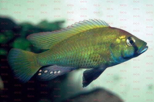 Astatotilapia calliptera - Foto Rico Morgenstern