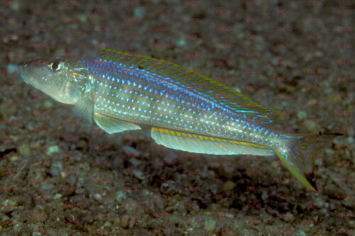 enantiopus melanogenys foto heinz buescher