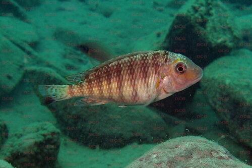 interochromis foto heinz buescher