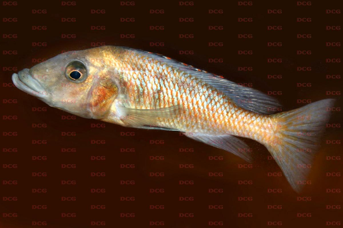 Lichnochromis