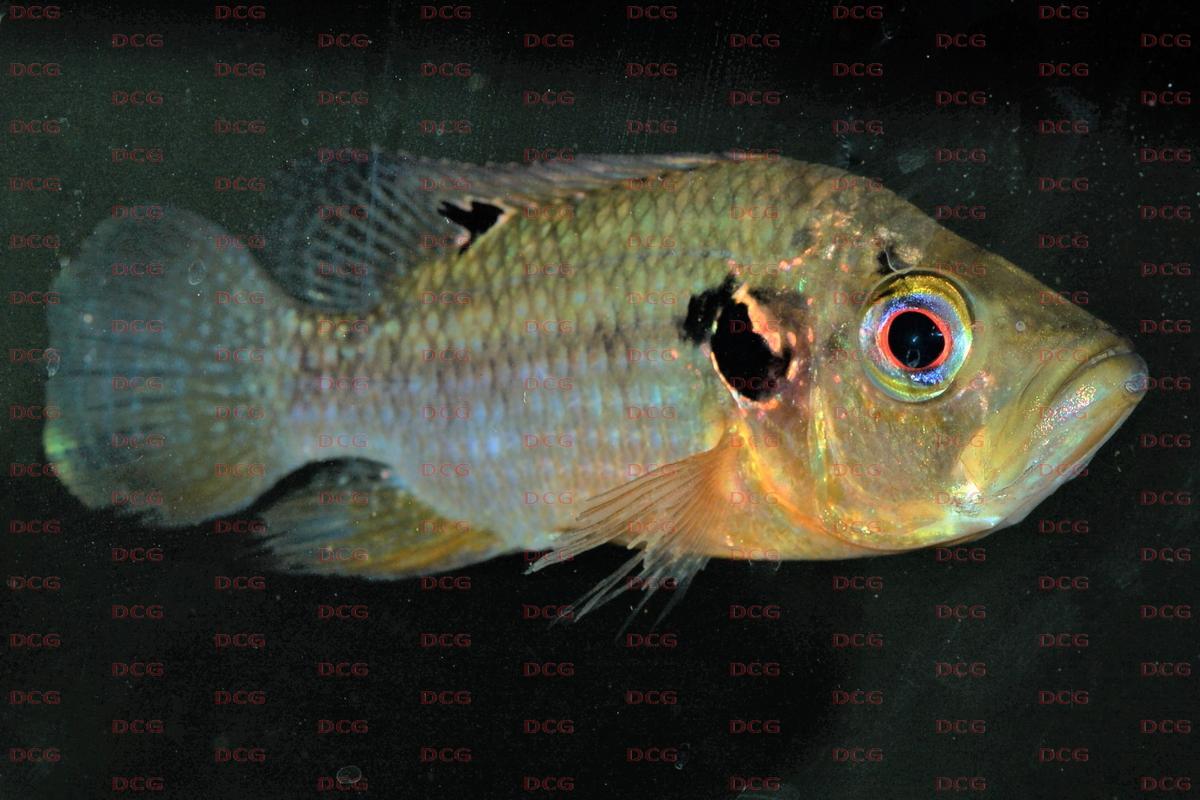 Pterochromis
