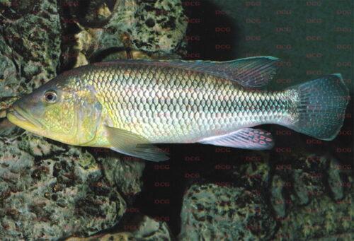 Seranochromis robustus - Foto Erwin Schraml
