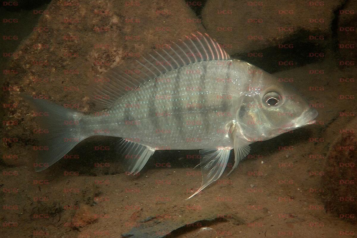 Tylochromis