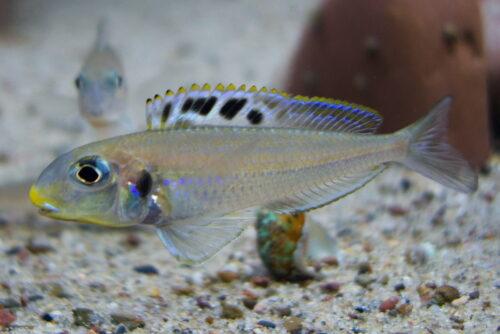 xenotilapia bathyphilus congo blue princess foto stefan pierdzig