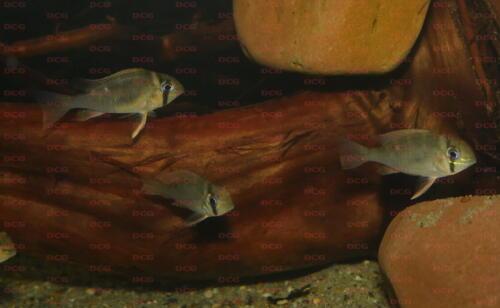 dcg-cichliden-biotodoma-cupido-foto-stefan-pierdzig-01