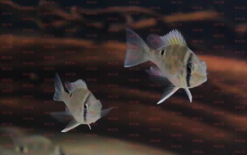 dcg-cichliden-biotodoma-cupido-foto-stefan-pierdzig-02