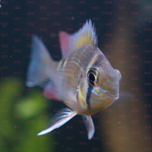 dcg-cichliden-biotodoma-cupido-foto-stefan-pierdzig-08