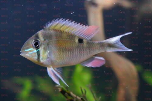dcg-cichliden-biotodoma-cupido-foto-stefan-pierdzig-09